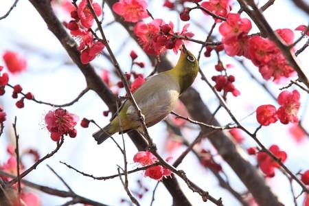 2013.02.28 和泉川 コウバイにメジロ 食事