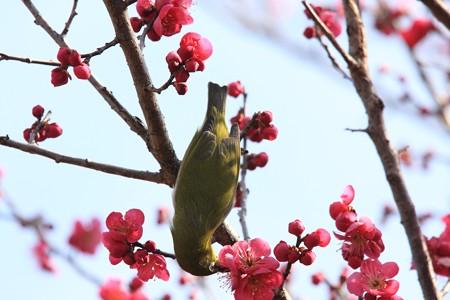 2013.02.28 和泉川 コウバイにメジロ 天地有用
