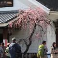 Photos: 2013.03.02 下曽我駅 枝垂梅