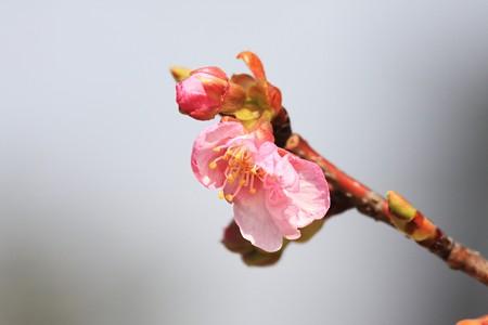 2013.03.07 和泉川 カワズザクラ