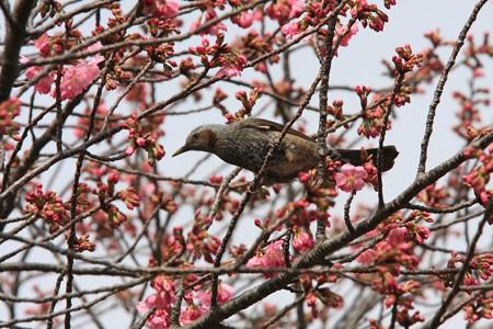 2013.03.20 和泉川 サクラにヒヨドリ