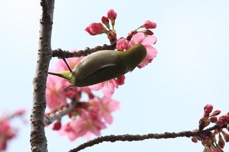 2013.03.20 和泉川 サクラにメジロ 花蜜