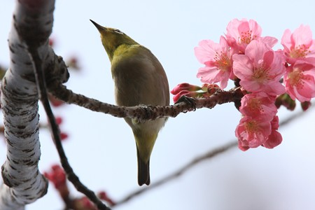 2013.03.20 和泉川 サクラにメジロ