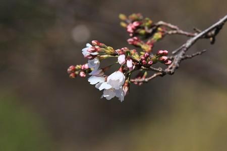 2013.03.22 ズーラシア ソメイヨシノ