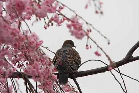 2013.03.30 和泉川 シダレザクラにキジバト