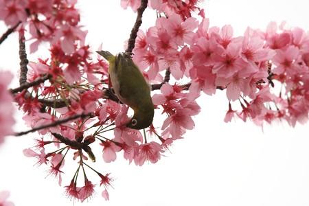 2013.03.30 和泉川 メジロ