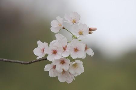 2013.03.30 和泉川 花冷えにソメイヨシノ