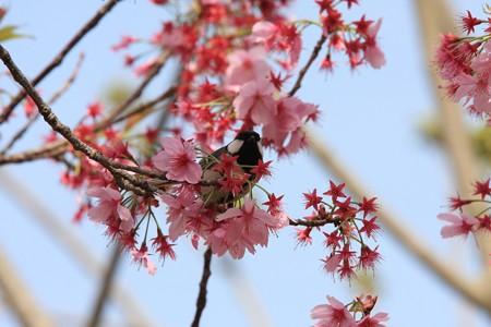 2013.04.01 和泉川 サクラにシジュウカラ ゴンドラ