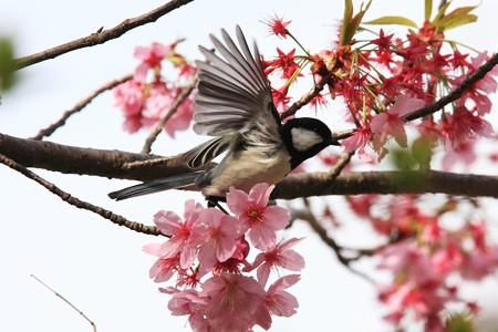 2013.04.01 和泉川 サクラにシジュウカラ 挨拶