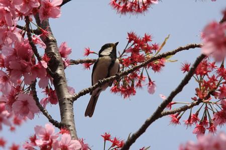 2013.04.01 和泉川 シジュウカラ