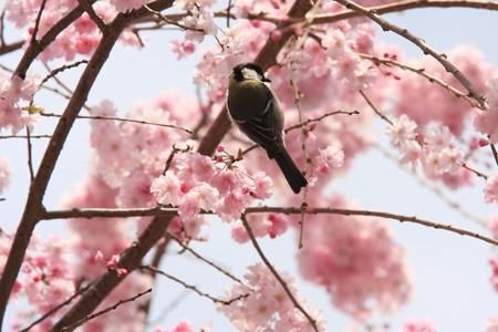 2013.04.01 和泉川 シダレザクラにシジュウカラ