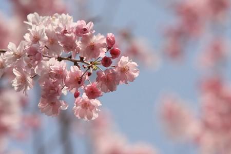 2013.04.01 和泉川 ヤエシダレザクラ