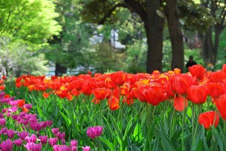 2013.04.09 横浜公園 チューリップ 新緑