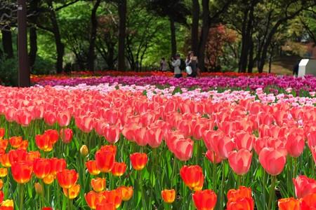 2013.04.09 横浜公園 チューリップ