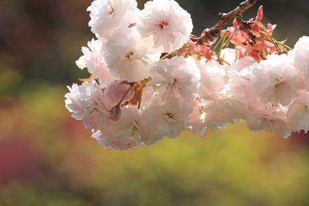 2013.04.12 和泉川 ヤエザクラ
