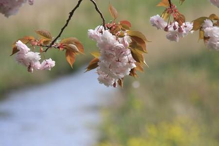 2013.04.14 和泉川 ヤエザクラ 南風