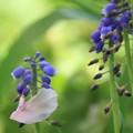 Photos: 2013.04.18 和泉川 ムスカリにヤエザクラ 花弁