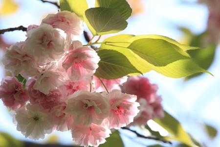 2013.04.22 和泉川 ヤエザクラ