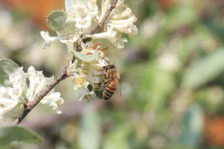 2013.04.23 和泉川 アキグミにミツバチ