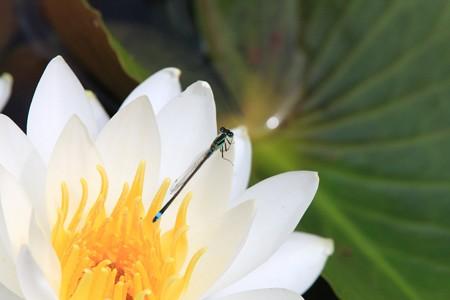 2013.06.08 三渓園 スイレンにアオモンイトトンボ