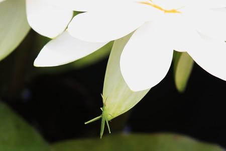 2013.06.08 三渓園 スイレンへショウリョウバッタ