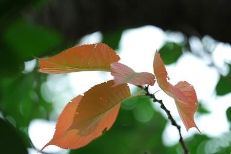 2013.07.04 和泉川 サクラ 赤 XF55-200mm