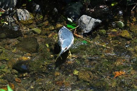 2013.07.06 和泉川 ゴイサギ 狩り