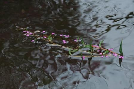 2013.07.17 和泉川 エゾミソハギ 花弁流れ