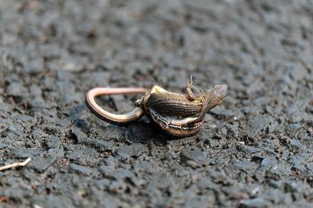 2013.07.18 和泉川 ニホンカナヘビ 交尾 手をつないで