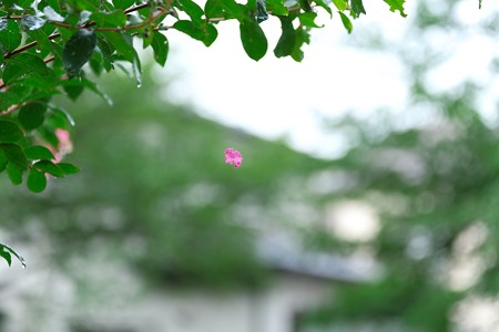 2013.07.28 和泉川 サルスベリ 花弁
