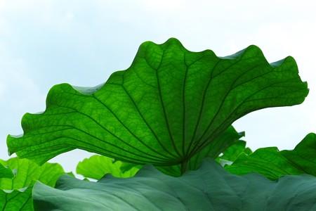 2013.08.06 瓢湖 蓮の葉