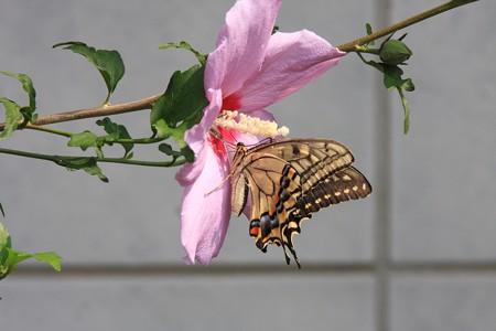 2013.08.14 和泉川 ムクゲにキアゲハ