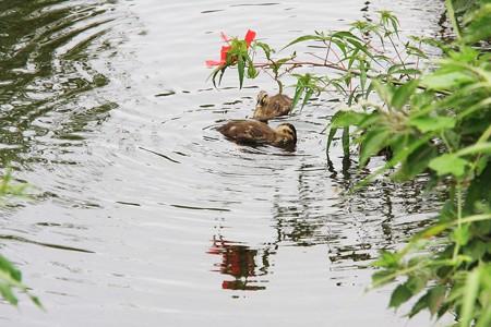 2013.08.22 和泉川 フヨウとカルガモ幼鳥