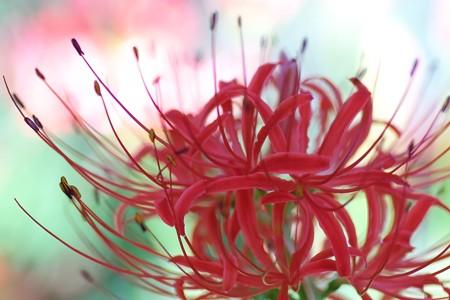 2013.09.17 追分市民の森 ヒガンバナ 秋祭り