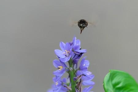 2013.09.22 瓢湖 ミズアオイにクロマルハナバチ