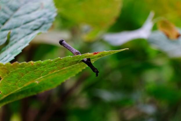 2013.11.11 追分市民の森 アジサイの葉に小枝