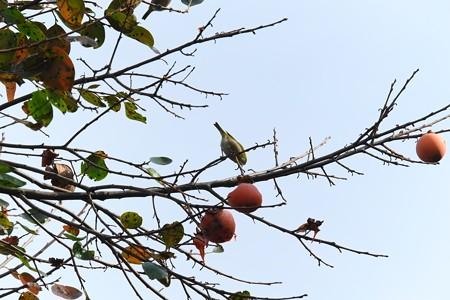 2013.11.15 和泉川 柿にメジロ