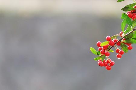 2013.12.10 和泉川 トキワサンザシ