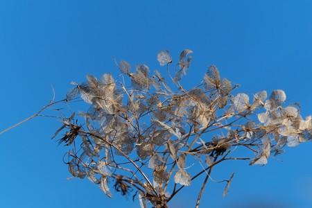 2013.12.28 和泉川 センダングサにアジサイ