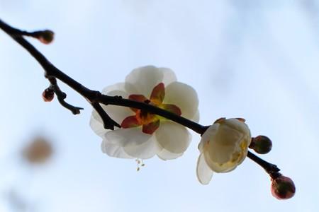 2014.01.26 和泉川 ウメ