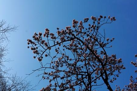 2014.02.07 上野公園 寒桜