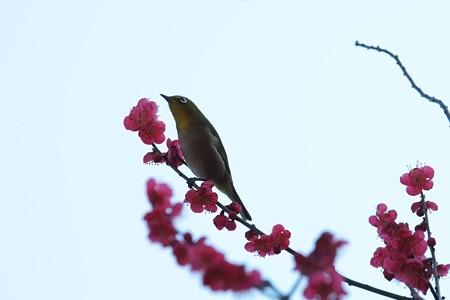 2014.02.25 和泉川 メジロ 紅梅