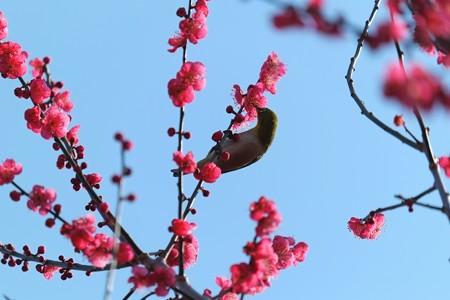 2014.02.25 和泉川 メジロ 梅蜜