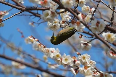 2014.03.09 和泉川 メジロ 花蜜