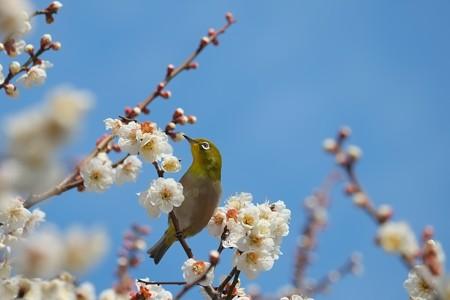 2014.03.09 和泉川 メジロ 春
