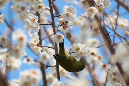 2014.03.09 和泉川 メジロ 白梅
