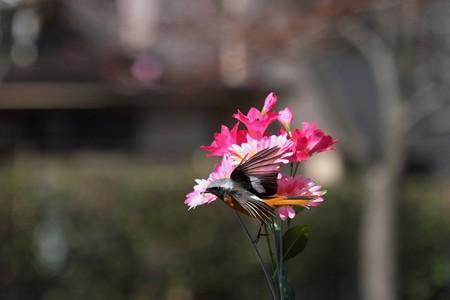 2014.03.11 和泉川 ジョウビタキ 餌付け