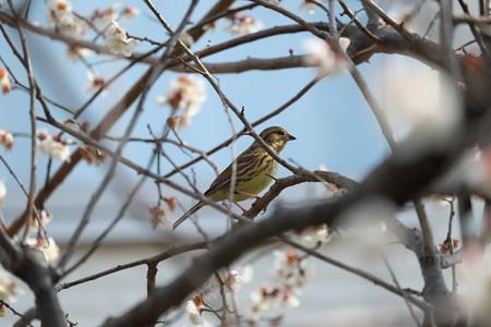 2014.03.12 和泉川 ウメにアオジ