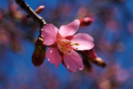 2014.03.15 和泉川 オカメザクラ 開花