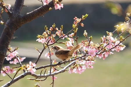 2014.03.17 和泉川 モズ